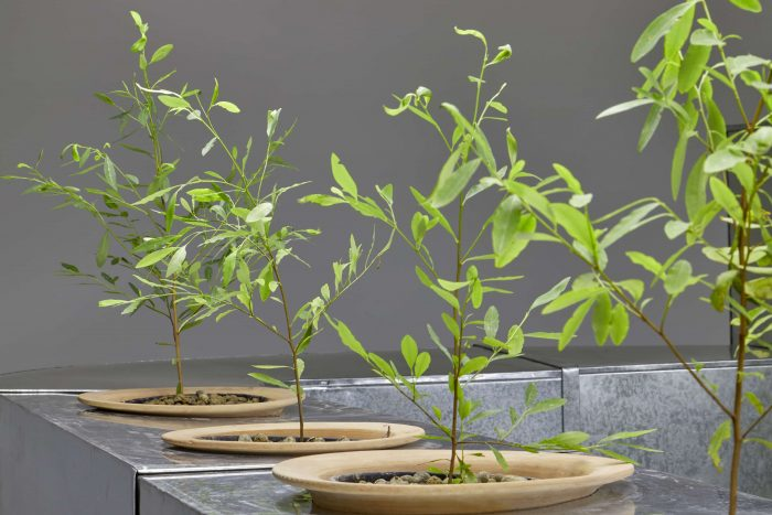 Lecturas Botánicas: Erythroxylum coca